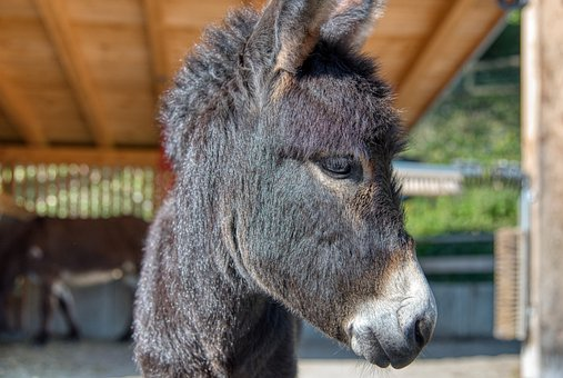 Donkey, Mammal, Enclosure, Portrait, Zoo, Ungulate