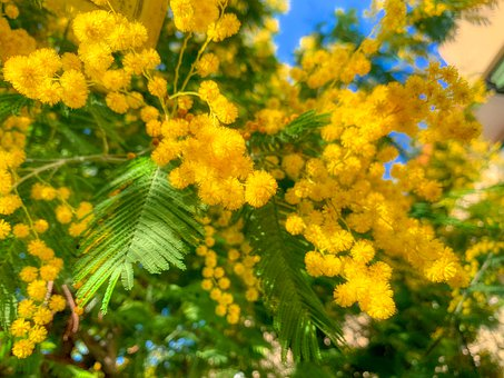 Mimosa, Woman, Nature, Bloom, Garden, Plant, Tree, Faye