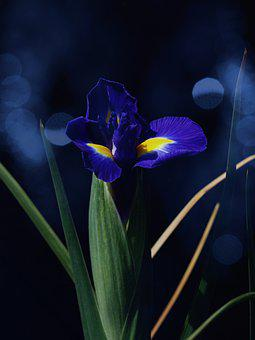 Holland Iris, Blue, Blossom, Bloom
