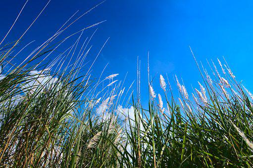 Silvergrass, Miscanthus, Flying Seeds, Summer, Blue Sky