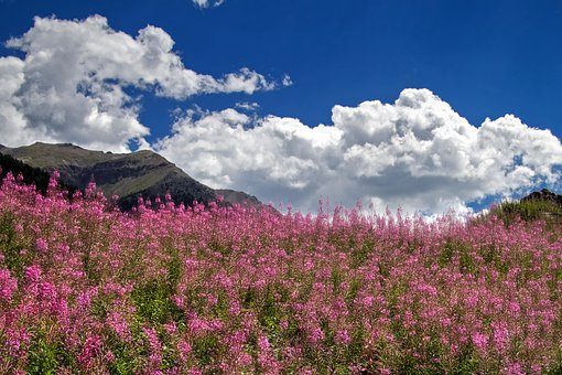 The Flora Of The Mountain, Epilobium, Alps, Italy