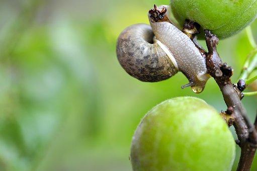Snail, Fruit, Spring, Water Drops, Fresh, Plum, Macro