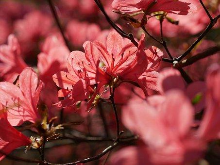 Azalea, Spring, Bush, Petal, Bright, Salmon, Branch