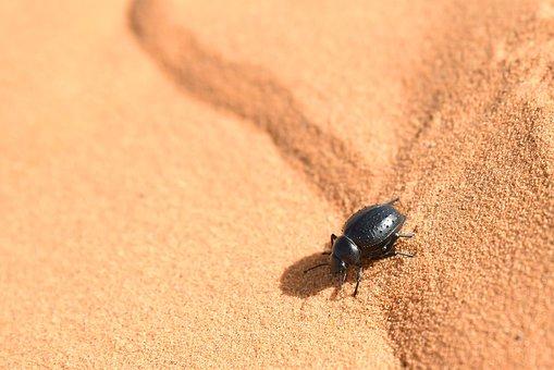 Fog-Drinking Beetle, Desert, Morocco