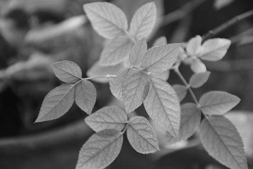 Nature, Monochromatic, Realism, Leaf, Plant