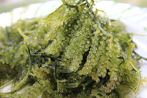 Sea Grapes, Sea Weeds, Sea, Seaweed, Weed, Alga, Ocean