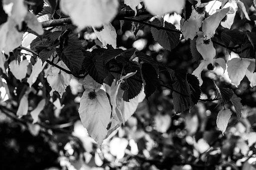 Davidia Involucrata, Tree, Nature, Garden, Leaves