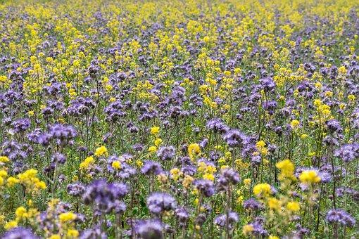 Phacelia, Bees, Flower Strips, Flower Meadow