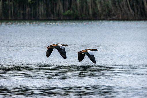 Nilgans, Flight, Wing, Water Bird