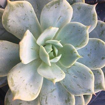 Succulent, Echeveria, Plant, Nature, Flower, Garden