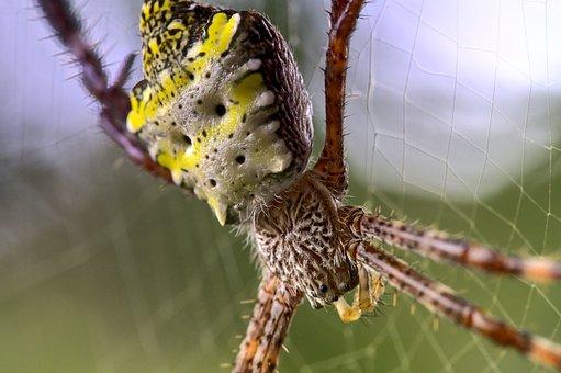 Spider, St Andrews Cross Spider, Eyes, Arachnid, Phobia