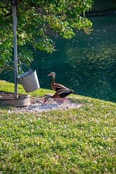 Ducks, Black-bellied Whistling Duck, Water, Lake, Grass