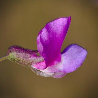 Pea, Spring, Fabaceae, Wild Flower, Macro, Violet