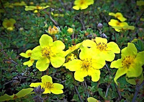 Flowering Hedge, Yellow Finger Shrub