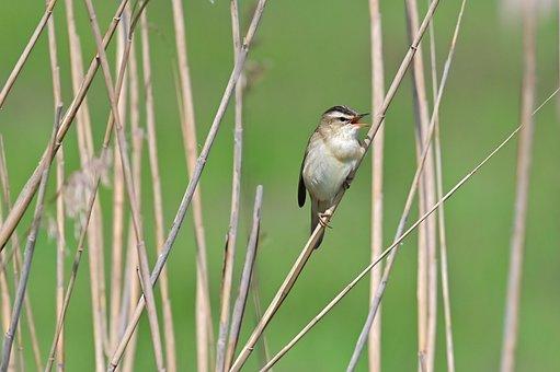 Sedge Warbler, Songbird, Tube Singer, Bird