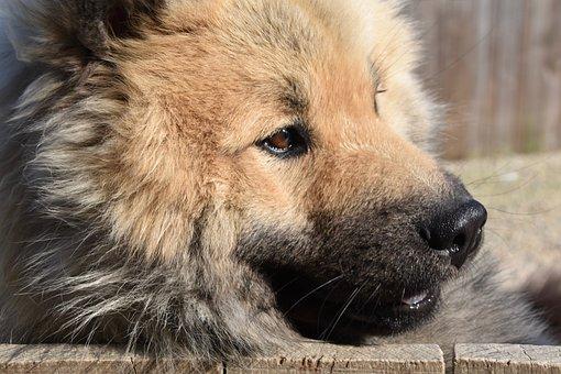 Dog, Eurasier, Dog Olafblue, Dog Olaf Blue, Doggie