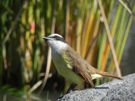 Birds, Birdie, Garden, Colorful, Bem-te-vi