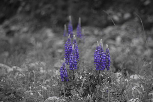 Grey, Purple, Lupins, Riverbank