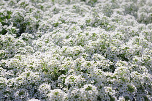 Sweet Alyssum, Small, Flowers, White, Spring, Bloom