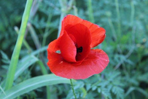 Poppy, Red, Flower, Nature, Summer