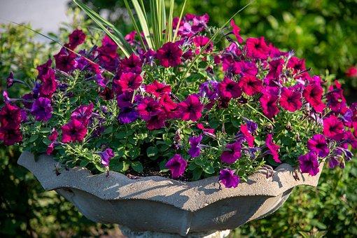 Petunia, Purple, Purple Petunia, Red Petunia