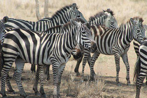 Serengeti, Africa, Safari, Wildlife, Nature, Zebra