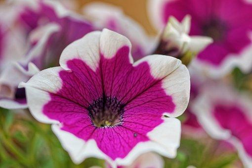 Flower, Petunia, Bloom, Nature, Garden, Decoration
