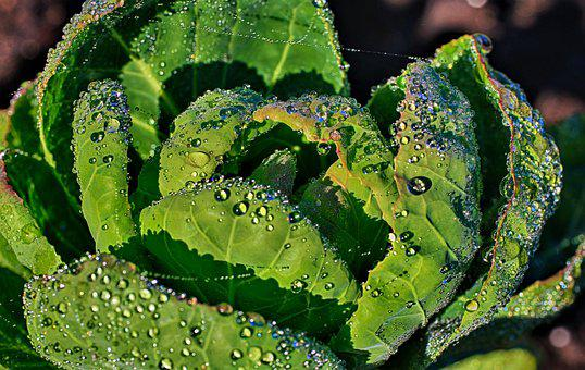 Brussels Sprouts, Raindrop, Dew, Green