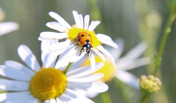 Ladybug, Marguerite, Daisy, Flower, Insect, Macro