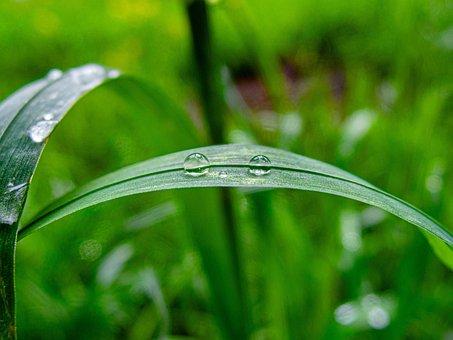 Green, Nature, Spring, Drop, Rosa, Grass