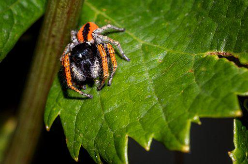 Spider, Salticidae, Insect, Hairy, Arachnid
