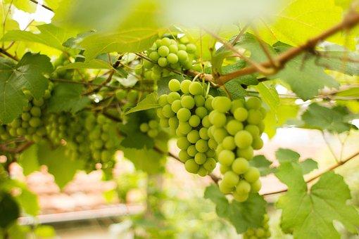 Uva, Fruit, Vine, Green, Nature
