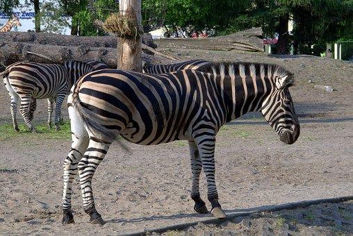 Zebra, Animals, African, Safari, Zoo, Mammals, Animal