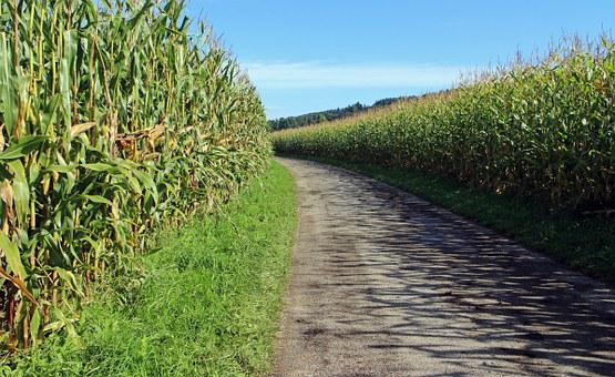 Dirt Track, Corn, Cornfield, Away, Road, Lane