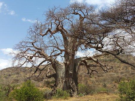 Baobab, Africa, Tanzania, Safari, Nature