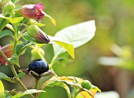 Belladonna, Atropa Belladonna, Plant, Flowers, Berry