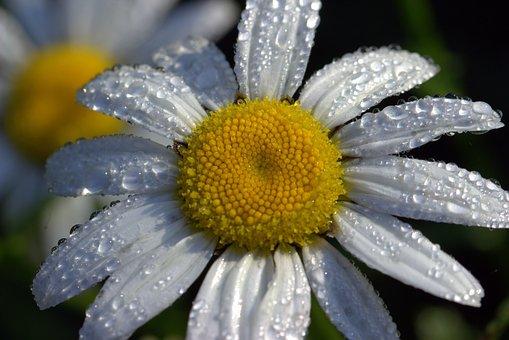 Daisies, Leucanthemum Maximum, Flowers, Blossom, Bloom
