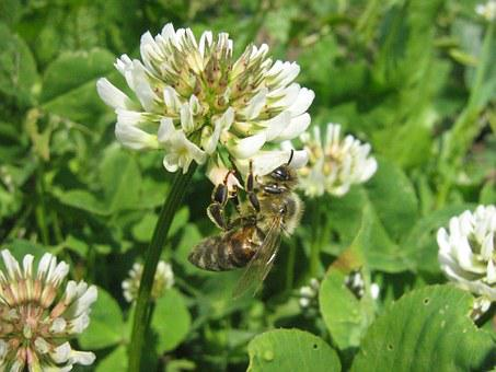 Clover, Flower, Bee, Bees To Obtain Nectar