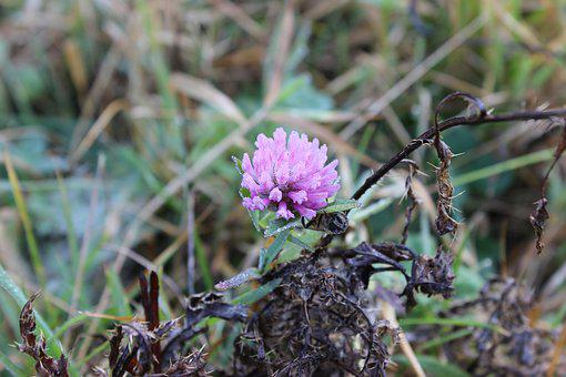 Clover, Nature, Wild Flower, Flowers Of The Field