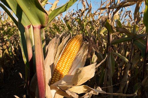 Cornfield, Corn On The Cob, Corn, Zea Mays, Cereals