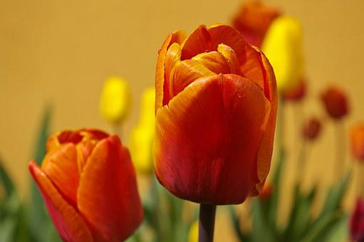 Tulips, Flowers, Spring, Plant, Early Bloomer, Yellow