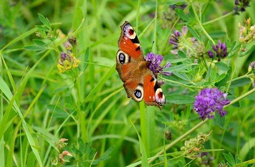 Butterfly, European Peacock, Summer Meadow, Clover
