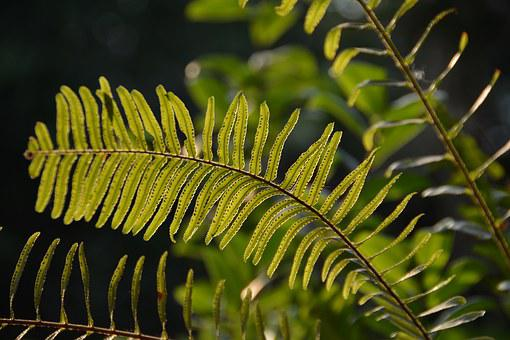 Fern, Leaf, Nature, Flora, Green, Summer, Plant, Macro