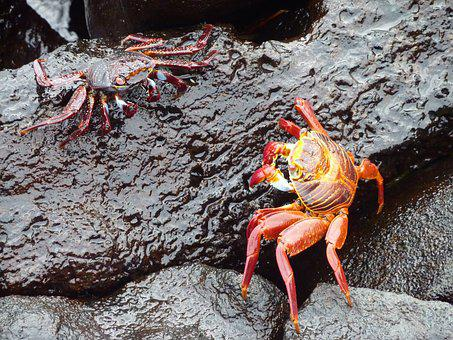 Red Cancer, Red Klippenkrabbe, Fight, Crab