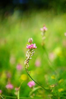 Sainfoin, Flower, Blossom, Bloom, Pink, Onobrychis