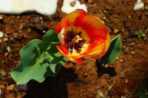 Tulips, Flower, Konya