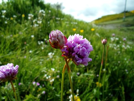 Flower, Clover, Nature, Field, Fleur Des Champs, Spring