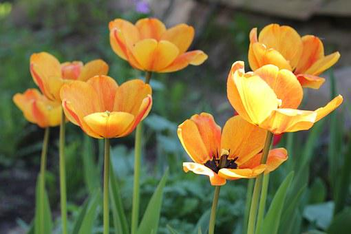 Dacha, Tulips, Yellow, Orange, Flowers, Bright, Closeup