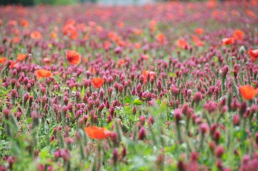 Flower, Clover, Poppy, Field, Poppies, Flowers, Nature