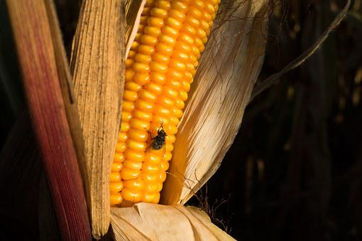 Corn On The Cob, Corn, Zea Mays, Fly, Cereals, Food